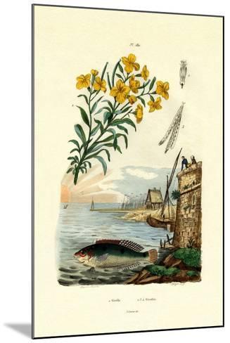 Rainbow Wrasse, 1833-39--Mounted Giclee Print
