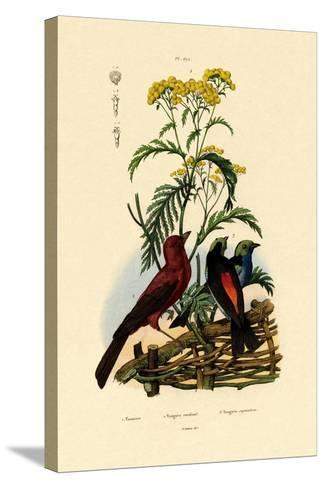Common Tansy, 1833-39--Stretched Canvas Print