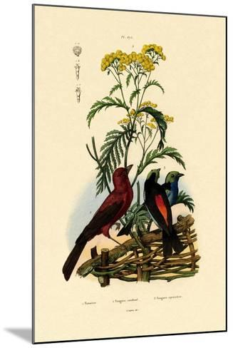Common Tansy, 1833-39--Mounted Giclee Print