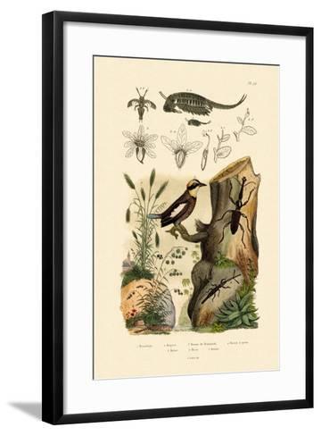 Fairy Shrimp, 1833-39--Framed Art Print