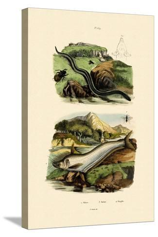Wels Catfish, 1833-39--Stretched Canvas Print