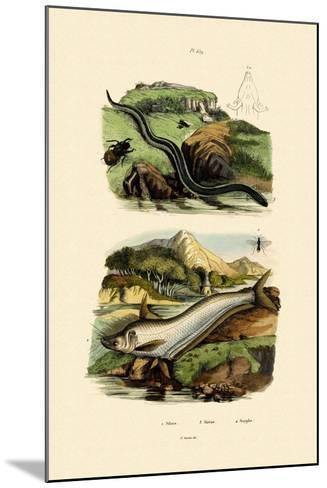 Wels Catfish, 1833-39--Mounted Giclee Print