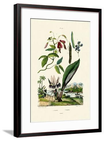 Galangal, 1833-39--Framed Art Print