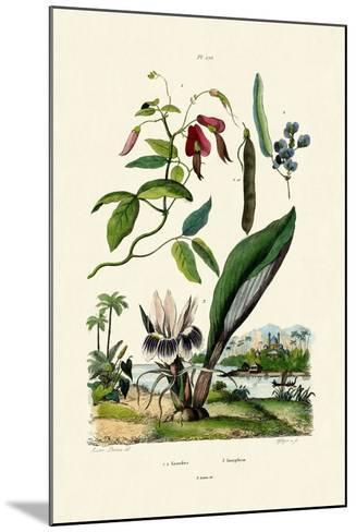 Galangal, 1833-39--Mounted Giclee Print