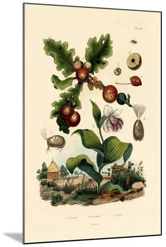 Gall Wasp, 1833-39--Mounted Giclee Print