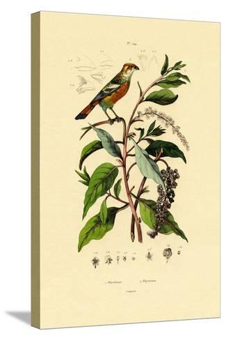 Pokeweed, 1833-39--Stretched Canvas Print