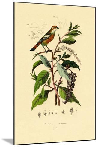 Pokeweed, 1833-39--Mounted Giclee Print