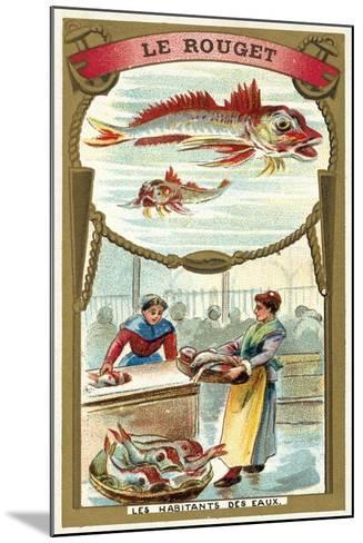 Red Mullet--Mounted Giclee Print