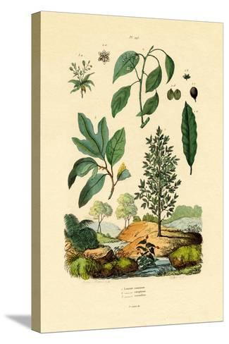 Bay Laurel, 1833-39--Stretched Canvas Print