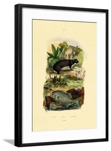 Chub, 1833-39--Framed Art Print