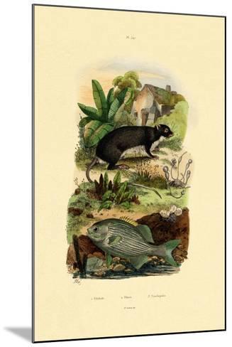 Chub, 1833-39--Mounted Giclee Print