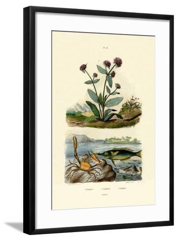 Bird Wrasse, 1833-39--Framed Art Print