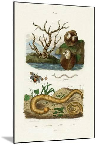 Isis Coral, 1833-39--Mounted Giclee Print