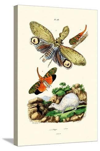 Lanternfly, 1833-39--Stretched Canvas Print