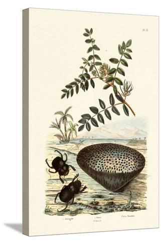 Milk Vetch, 1833-39--Stretched Canvas Print