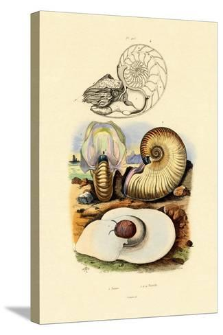 Moon Snail, 1833-39--Stretched Canvas Print
