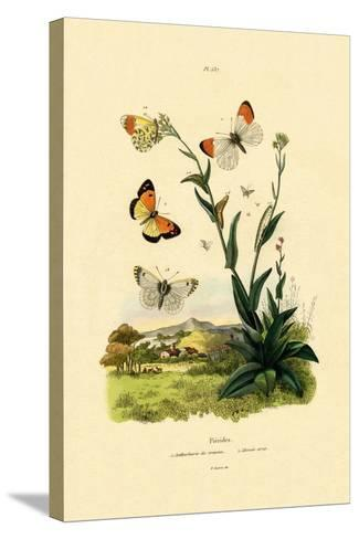Orange Tip, 1833-39--Stretched Canvas Print