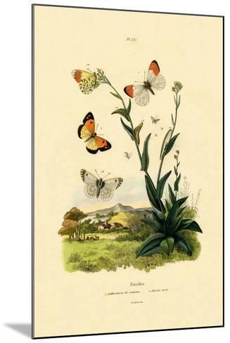 Orange Tip, 1833-39--Mounted Giclee Print