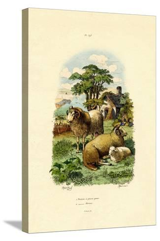 Merinosheep, 1833-39--Stretched Canvas Print