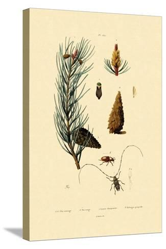 Scots Pine, 1833-39--Stretched Canvas Print