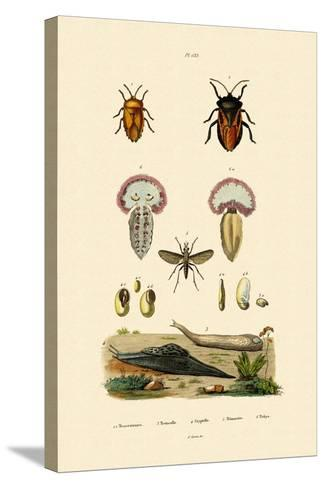 Stink Bugs, 1833-39--Stretched Canvas Print