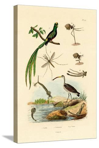 Curlew, 1833-39--Stretched Canvas Print