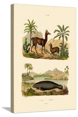 Llama, 1833-39--Stretched Canvas Print