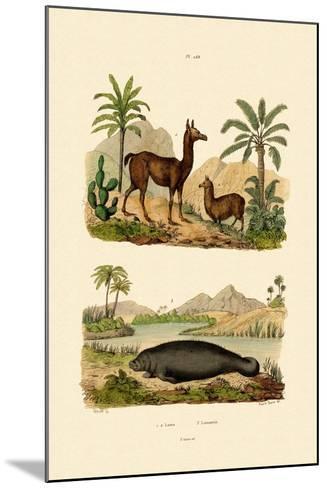 Llama, 1833-39--Mounted Giclee Print