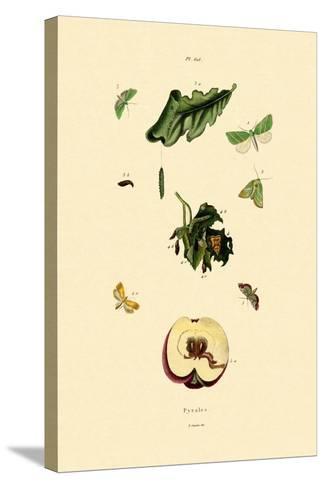 Snout Moths, 1833-39--Stretched Canvas Print