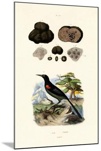 Oriole, 1833-39--Mounted Giclee Print