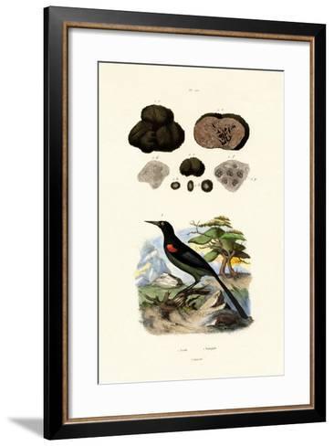 Oriole, 1833-39--Framed Art Print