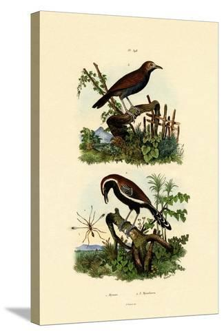 Antbirds, 1833-39--Stretched Canvas Print