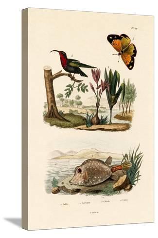 Boxfish, 1833-39--Stretched Canvas Print