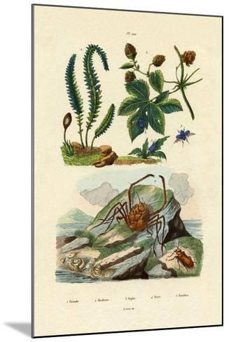Barberry, 1833-39--Mounted Giclee Print