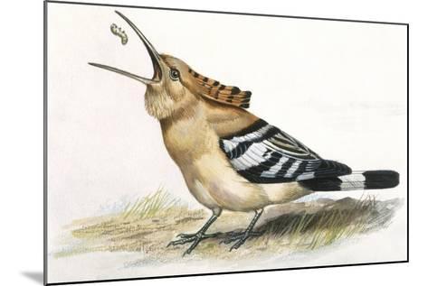 Birds: Coraciiformes, Hoopoe (Upupa Epops) Catching Larva--Mounted Giclee Print