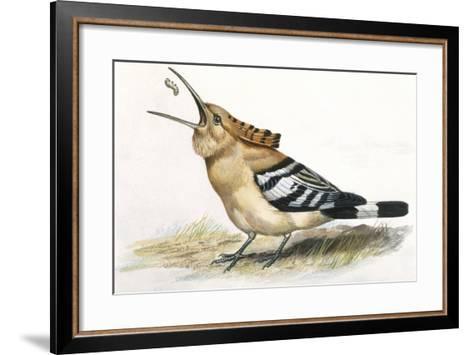 Birds: Coraciiformes, Hoopoe (Upupa Epops) Catching Larva--Framed Art Print