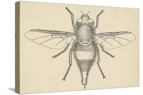 Horse Bot Fly (Gasterophilus Nasalis), Diptera, Drawing--Stretched Canvas Print