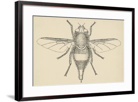 Horse Bot Fly (Gasterophilus Nasalis), Diptera, Drawing--Framed Art Print