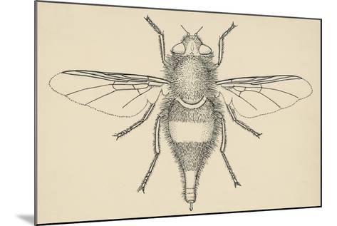 Horse Bot Fly (Gasterophilus Nasalis), Diptera, Drawing--Mounted Giclee Print