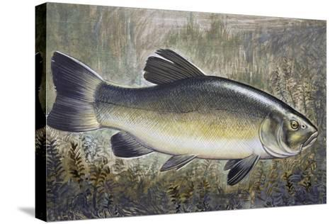 Tench or Doctor Fish (Tinca Tinca), Cyprinidae, Drawing--Stretched Canvas Print