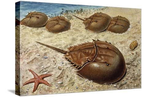Atlantic Horseshoe Crab (Limulus Polyphemus), Limulidae--Stretched Canvas Print