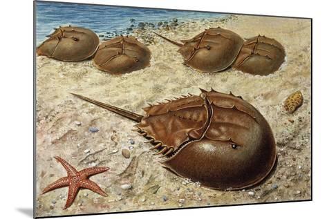 Atlantic Horseshoe Crab (Limulus Polyphemus), Limulidae--Mounted Giclee Print
