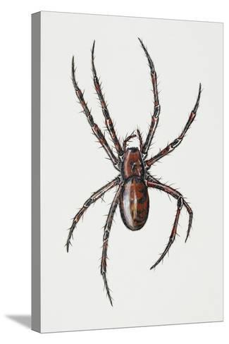Cave Spider (Meta Menardi), Tetragnathidae, Artwork by Rebecca Hardy--Stretched Canvas Print
