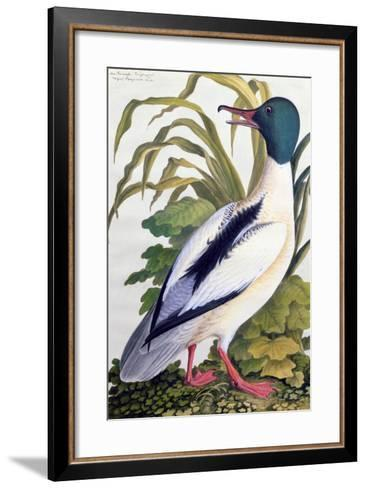 Study of a Mallard Duck, C.1790--Framed Art Print