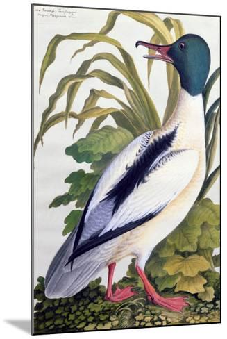 Study of a Mallard Duck, C.1790--Mounted Giclee Print