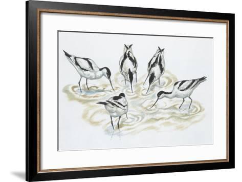 Zoology: Birds, Pied Avocet (Recurvirostra Avosetta)--Framed Art Print