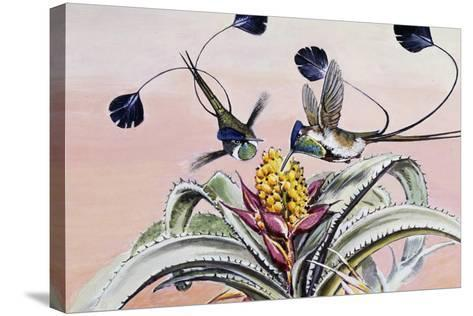 Marvellous Spatuletail (Loddigesia Mirabilis), Trochilidae--Stretched Canvas Print