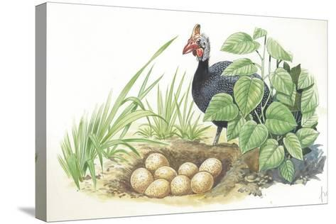 Helmeted Guineafowl Numida Meleagris at Nest with Eggs--Stretched Canvas Print