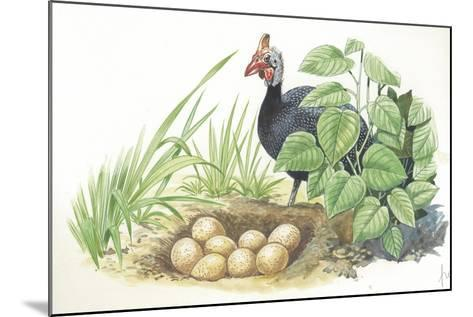 Helmeted Guineafowl Numida Meleagris at Nest with Eggs--Mounted Giclee Print