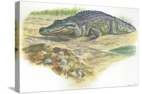 Nile Crocodile Crocodylus Niloticus Near its Laid Eggs--Stretched Canvas Print